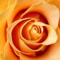 IMG_2400_Yellow Rose