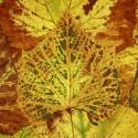 IMG_6023_Flat Autumn Leaves